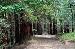 el-bosque-de-secuoyas_7547893-300x198